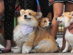 This dog has the best facial expression ever #corgi