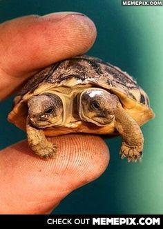 Polycephaly turtle