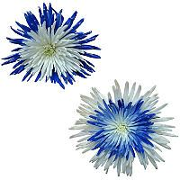 Innie/Outtie Disbuds - Blue and White - 60 Stems - Sam's Club
