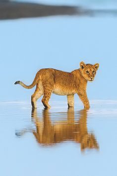 "funnywildlife: "" Lion cub, part of the Olasati pride on the edge of Lake Ndutu, Tanzania at sunrise #wildographer by Marc Mol """