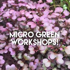 Two upcoming workshops (grow your own micro greens & shoots year round!): Sat Feb 20 Sat March 19 Sign up: www.reclaimurbanfarm.com/shop