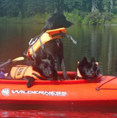 """Kayak Dogs NO they are NOT Barge dogs A Schipperke (/ˈskɪpərkiː/; Dutch: [ˈsxɪpərkə]) is a small Belgian breed of dog that originated in the early 16th century. in the areas of Leuven and Brussels """"schipper"""" was the word for shepherd, making the name translate as """"little shepherd"""""""