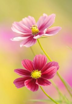 flower garden care October Flowers prettylittleflower: hazy cosmos (by Sky-Genta) Plants that do best planted as seeds Cosmos Flowers, My Flower, Pink Flowers, Beautiful Flowers, Cosmos Plant, Cactus Flower, Exotic Flowers, Fall Flowers, Flower Seeds