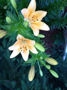 Lillie's from my garden summer 2014