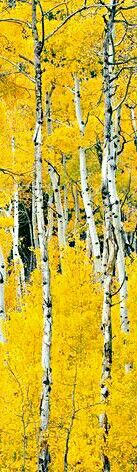Cottonwood Pass Aspens,  Buena Vista,  Colorado