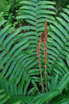 Who knew there were so many winter hardy fern varieties? Short or tall ferns, evergreen ferns, native plants, some that like shade and even some that survive in the sun.there's a perennial fern for every garden landscape! Ferns Garden, Shade Garden Plants, Rain Garden, Landscaping Around Pool, Landscaping Plants, Fern Plant, Plant Leaves, Cinnamon Fern, Christmas Fern