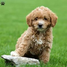 Tabby is a precious Miniature Labradoodle puppy that will charm her way right into your heart! This cutie is vet checked, up to date on shots and wormer, Mini Labradoodle Puppy, Labradoodle Puppies For Sale, Miniature Australian Labradoodle, Miniatures, Dogs, Animals, Animales, Animaux, Pet Dogs