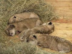 Two-day-old African lion cubs born to Kiki on November 19, 2013, at Zoo Atlanta. #CutenessZooATL