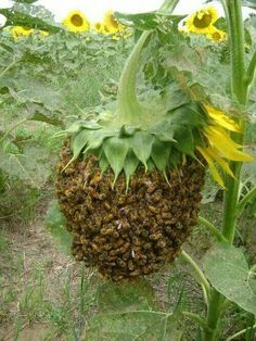 Bee swarm dripping from head of sunflower. ..