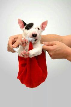 #Bull #Terrier #puppy