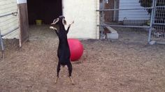 Best Use For A Yoga Ball, fun to watch specially in the winter when my goats will not go outside. We had a tether ball for our goats Mr. P luved that thing :)