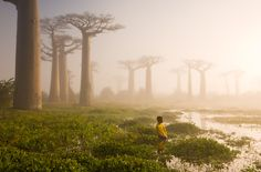 Boabab trees in Madagascar. Just beautiful.