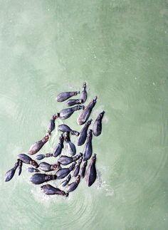 aerial hippos