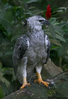 The Harpy Eagle is one of the largest and most powerful of the fifty species of eagles. It lives in the tropical lowland rainforests of Central and South America, from southern Mexico southward to eastern Bolivia, southern Brazil and the northernmost parts of Argentina.