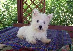 West Highland White Terrier, via Flickr.