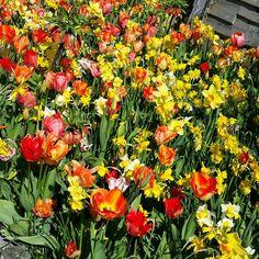 Fluwel's Tulpenland Bloembollen mix van onze broeier Jeroen! #tulip #daffodils #frittilaria #fluwelstulpenland #fluwel.com