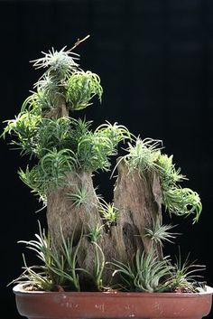 Tillandsia - All For Herbs And Plants Cacti And Succulents, Planting Succulents, Cacti Garden, Moss Garden, Succulent Planters, Hanging Planters, Cactus Plants, Water Plants, Cool Plants