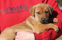 Meet Willow 22056, a Petfinder adoptable Labrador Retriever Dog | Prattville, AL | Willow is a 2-month-old female Lab mix. She is brown and has such a precious little face. Willow...