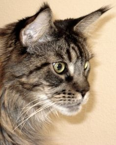 Legend @Create With Joy - Into The Heart - #MaineCoon #Cats #Pets