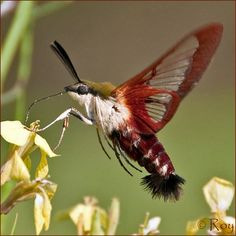 Hummingbird Clearwing Moth (Hemaris thysbe) United States