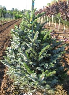 howell's dwarf tigertail spruce