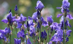 So wird die blühfaule Iris wieder munter