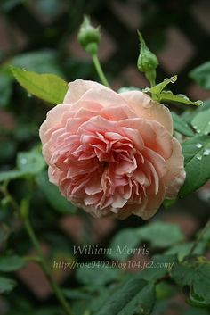 William Morris ,  English  Rose