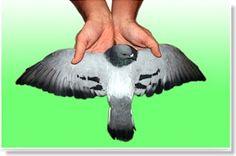 La herencia de colores en palomas ... [+] http://www.tuspalomas.es/la-herencia-de-colores-en-palomas-el-tipo-salvaje/