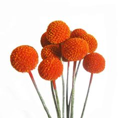Add warmth to your spring and summer bouquets with Craspedia Billy Balls Orange Flowers. Craspedia are unique flowers with no foliage and large, spherical bloom Orange Wedding Flowers, Fall Flowers, Orange Flowers, Wedding Colors, Ranunculus Flowers, White Dahlias, Fall Wedding, Our Wedding, Wedding Things