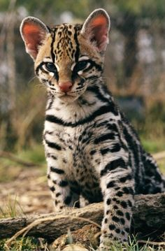 ocelot kitsuch a pretty baby wonderful wild cats. Small Wild Cats, Big Cats, Cats And Kittens, Cute Cats, Amazon Rainforest Animals, Amazon Animals, Ocelot, Beautiful Cats, Animals Beautiful