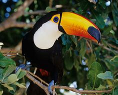 Did you know that toucans regulate body temperature by adjusting the flow of blood to their beak? Learn more about the toco toucan at Animal Fact Guide!
