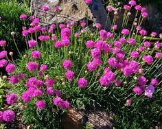 "Armeria maritima ""Sea Pinks"" or ""Sea Thrift"". Late Spring to early summer bloom. Remove faded blooms for improved appearance and some rebloom. Sun to part shade in Utah. Water deeply every 1-2 weeks mounding, slightly gravitates in width. Rated to Zone 3 -30° to - 20°"