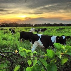 Tengo una vaca lechera...☀Puerto Rico☀
