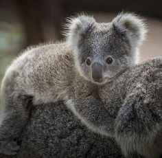 The beautiful koala. Speak to our Australia experts and meet her for yourself. Cute Funny Animals, Cute Baby Animals, Animals And Pets, Animal Facts, My Animal, Animal Magic, Beautiful Creatures, Animals Beautiful, Animales