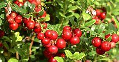 Pensaspuolukka on helppohoitoinen, kestävä ja runsassatoinen marjapensas puutarhaan. Se on myös kaunis maanpeitekasvi. Lue lisää Viherpihasta!