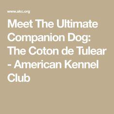 Meet The Ultimate Companion Dog: The Coton de Tulear - American Kennel Club