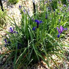 """Résultat de recherche d'images pour """"iris sintenisii"""""""