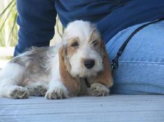 petit basset- i will have one of these someday :)