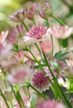 Every perennial has a seasonal peak. With fall planting and a little patience, they'll display their colors year-round. Shade Perennials, Flowers Perennials, Planting Flowers, Fall Plants, Garden Plants, Front Yard Flowers, Foto Picture, Astrantia Major, Shade Flowers