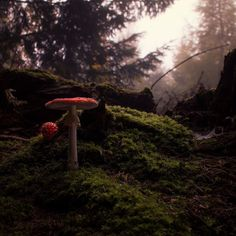 Fairytale forest Better res. & more photos: https://goo.gl/3yeBgT #mushroom #mushrooms #amanita #fungi #funghi #forest #autumn #fall #stump #moss #bokeh #bokehlicious #CZJ #flektogon #red #green #rainy #cloudy #moody #oldlens #vintage_lens #vintage #manuallens Canon 70D Carl Zeiss Jena Flektogon 20mm f2.8 MC