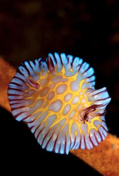 Chromodoris roboi--sea slug (aka nudibranch)
