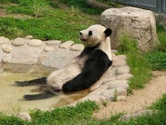 Panda in relax Animals And Pets, Funny Animals, Cute Animals, Lazy Animals, Animal Funnies, Wild Animals, Animal Pictures, Funny Pictures, Relax