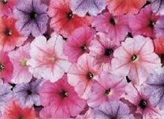 Petunia Celebrity Ice Mix 40 Pelleted Seeds Garden Seeds 2u *** Read more reviews of the product by visiting the link on the image.