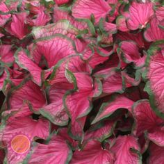 Caladium 'Florida Sweetheart' are rosy pink with a deeper rose vein and a thin green margin, tolerates sun.