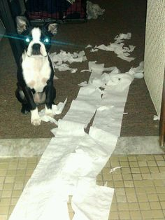 My Boston Terriors way of letting me know she has fun while I am in the shower...