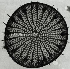 Diatom ~ Transmission electron micrograph of freshwater ~ brackish water diatom Stephanodiscus tenuis.