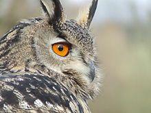 Gufo Reale (Bubo bubo) - Wikipedia  Great Horned Owl