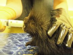 Handle with thick gloves. Baby porcupines are born with soft quills, but they harden quickly.