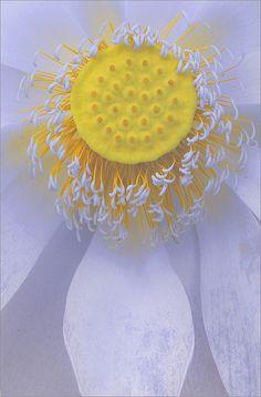 The Center of a Lotus [Nelumbo nucifera] Blossom