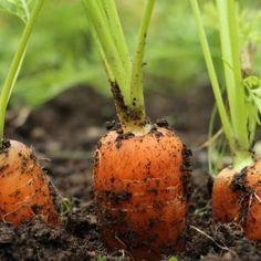 Właściwa pielęgnacja upraw marchwi i pietruszki – przerywanie i częste odchwaszczanie – mogą ustrzec przed mączniakiem prawdziwym. (zdj.: Adobe Stock) Garden, Vegetable Garden, Garden Wall, Persimmon